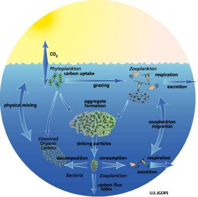 Copepod Place In Food Web